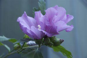 Foto von Sonja Wessel - Malvenblüte