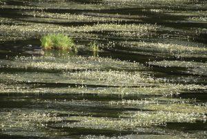 Foto von Sonja Wessel - blühende Algen im Fluss