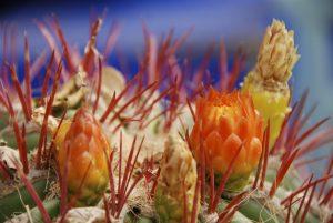 Foto von Sonja Wessel - Kaktusblüte