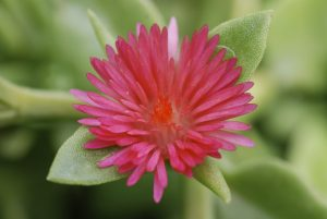Foto von Sonja Wessel - Sukkulentenblüte