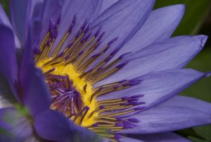 Foto von Sonja Wessel - Lotusblüte