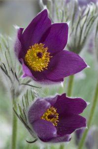 Foto von Sonja Wessel - lila Blüten